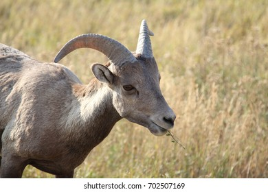 Bighorn Sheep Eating Grass in the WIld
