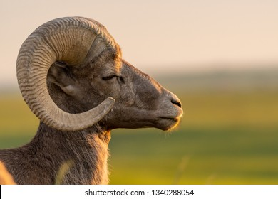Bighorn Sheep With Eye Closed Facing Right with Copy Space