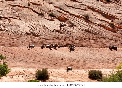 Bighorn sheep in Grand Canyon resting on cliff wall