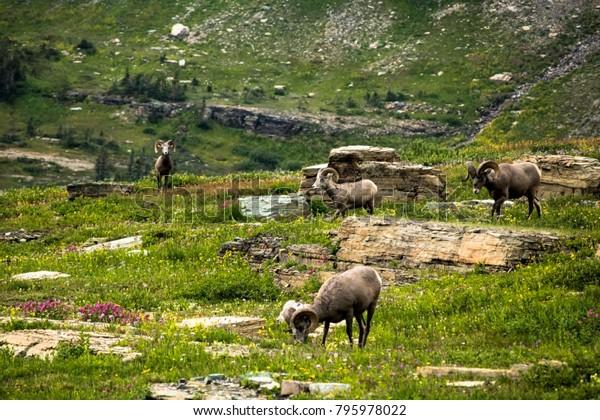 Bighorn Sheep Grazing in a Flowery Meadow