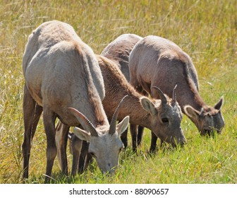 Bighorn sheep grazing in grasslands of Badlands National Park, South Dakota