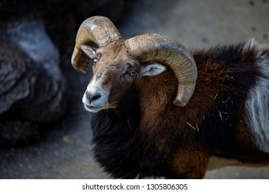 The bighorn sheep has tan or brown fur. It has a white belly, rump, and muzzle. It is best known for its large horns. The ram has large, thick curving horns.