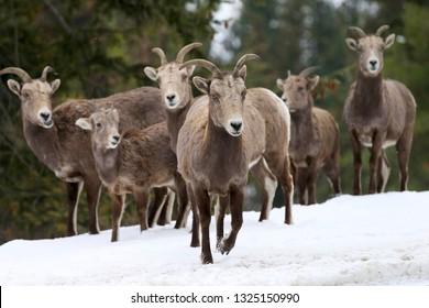 Bighorn Sheep, Mountain Mammals