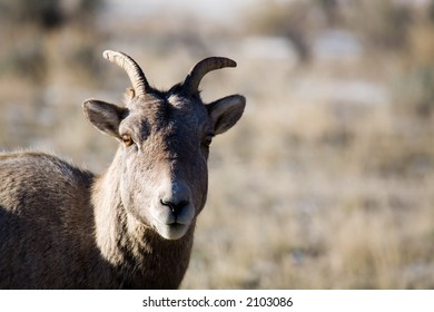 bighorn sheep in natural environment - portrait in early morning light with copyspace