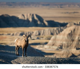 Bighorn sheep near Dillon Pass in Badlands National Park near Wall, South Dakota