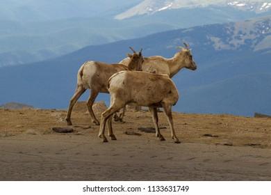 bighorn sheep on Mount Evans, colorado