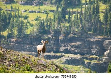 Bighorn Sheep on Mountain Top