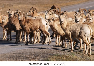 Bighorn sheep on the road, Canadian Rockies