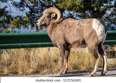 A Bighorn sheep (Ovis canadensis) standing on the road next to a guardrail in near Radium Hot springs in British Columbia Canada