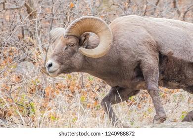 Bighorn Sheep Ram Charging