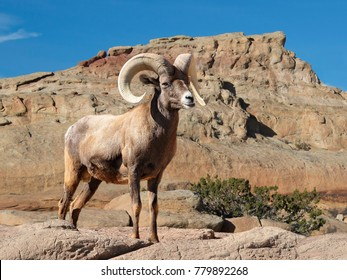 Bighorn sheep ram with large curved horns  on rocky hillside