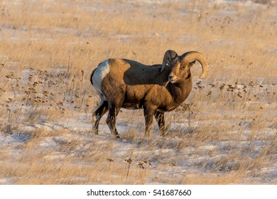 bighorn sheep ram standing in snow