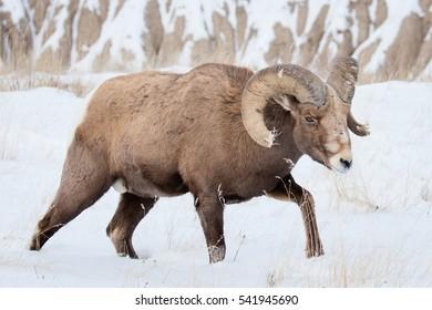 bighorn sheep ram walking in snow