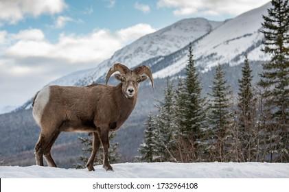 Bighorn Sheep in Snow in Jasper Canada
