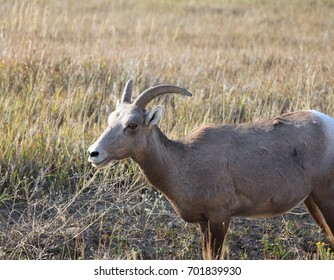 A bighorn sheep standing in the grass