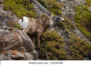 Bighorn sheep standing on a rock in the rocky mountains Canada