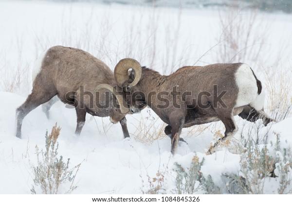 Bighorn Sheep taken in Wyoming Agnieszka Bacal.