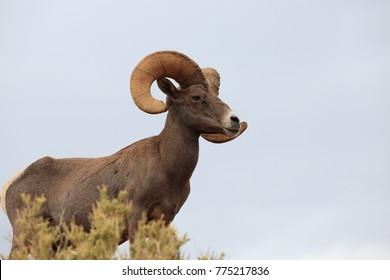 Bighorn sheep Valley of Fire Nevada