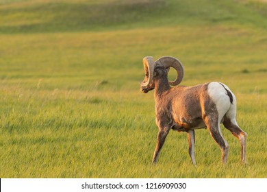 Bighorn Sheep Walks Through Grassy Field in Morning Light