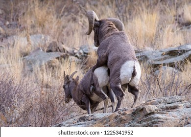 Bighorn sheep are wild animals in the Rocky Mountains of Colorado. Bighorn Mating.
