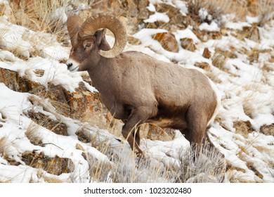 A bighorn sheep in a winter setting