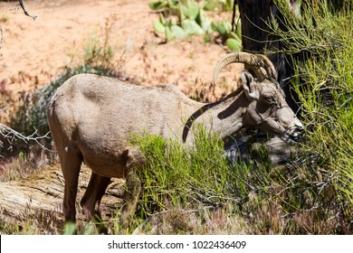Bighorn sheep in Zion National Park, Utah