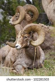 Bighorns sheep laying down in Yellowstone