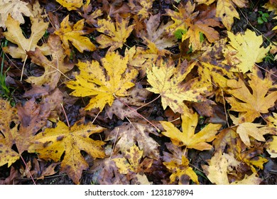 Big-leaf maples on forest floor, Fall colors Aufderheide Scenic Byway, Willamette National Forest, Oregon, USA
