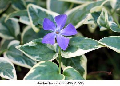 Bigleaf periwinkle or Vinca major or Large periwinkle or Greater periwinkle or Blue periwinkle evergreen perennial flowering plant with glossy dark green leathery leaves and single violet flower