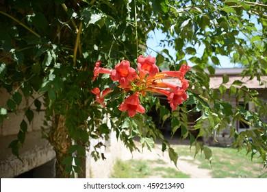 Bignonia capreolata vine with red flowers