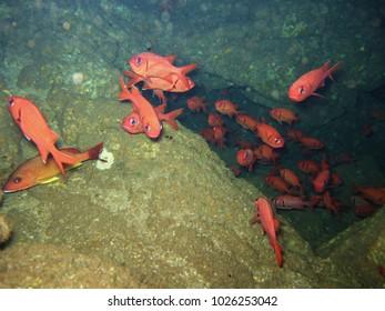 Bigscale Soldierfish swim inside a lava tube off Lanai.