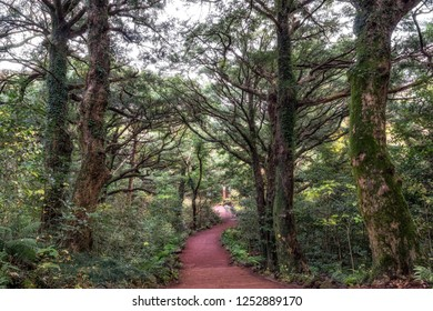 Bijarim forest trail in Jeju Island taken during winter. Bijarim forest is a famous natural landmark in Jeju Island with 2,800 nutmeg trees between 500 and 800 years old