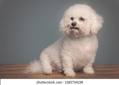 Bijion dog sat down on wooden floor against a grey background