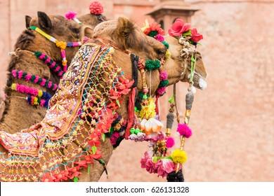 Bikaner, India, 14th January 2017 - Decorated camels at the Camel Fair in Bikaner, Rajasthan