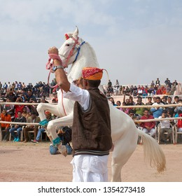 BIKANER, INDIA - JANUARY 12, 2019: Marvari white horse dancing during camel festival in Rajasthan state.The Marwari or Malani is a rare breed of horse from the Marwar region of India