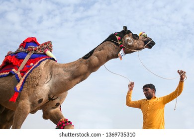BIKANER, INDIA - JANUARY 12, 2019: Dromedary camel dancing during camel festivan in Rajasthan state