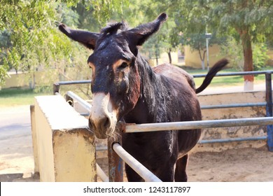 Bikaner, India - November 24, 2018: Horses, donkeys and mule at National Research Centre on Equines, Bikaner. Main objectives of the centre is to improve horses, donkeys and mule production.