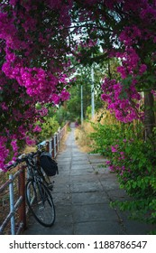 Bike under Red Bougainvillea tree