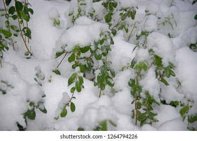 bilberry branches in snow
