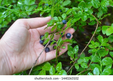 Bilberry in a female hand. Collecting of wild bilberry in the forest. Fresh black and useful berries