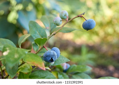 Bilberry in natural garden; Shallow depth of field;