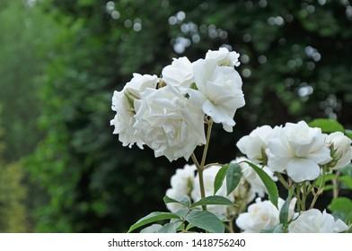 Billericay, Essex, United Kingdom, June, 4, 2019.  White roses in a suburban back garden.  Billericay, Essex, United Kingdom,  June 4, 2019