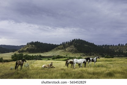Billings, Montana, USA. Horses begin to stir at dawn on a peaceful summer morning in the heart of the prairie and rolling landscape near Billings, Montana, USA.