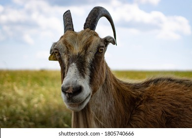 Billy goat on the farm in Arkansas during summer