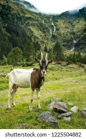 Billy goat and waterfall in Austrian nature