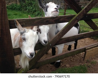 billy goats three