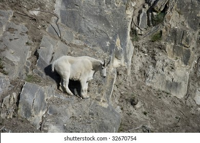 Billy Mountain Goat looking down from a cliff, Jasper National Park