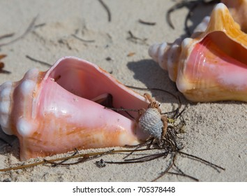 Bimini, Bahamas - a small hermit crab climbs over much larger conch shells on an empty island beach in the Bahamas