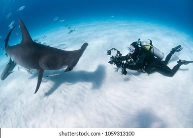 Bimini/Bahamas-03012016: Underwater Photographer Aims for a Photo of Great Hammerhead Shark in Bahamas
