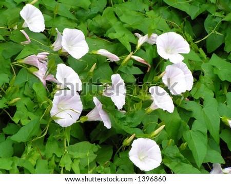 Bind Weed Very Invasive Vigorus Vine Stock Photo Edit Now 1396860